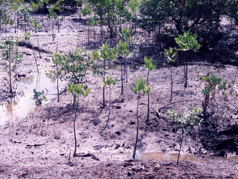 マングローブの植林